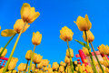 Tulips Royalty Free Stock Photography - 18595497