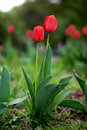 Two Red Tulips Stock Images - 18621624