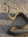 Mozambique Spitting Cobra Royalty Free Stock Images - 18629449