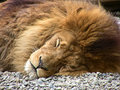 Sleeping Lion Royalty Free Stock Images - 18673719