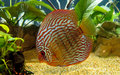 Discus Fish Royalty Free Stock Images - 18674359