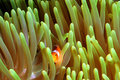 Clown Fish Royalty Free Stock Photography - 1872987