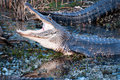 Alligator With Jaws Wide Open Stock Images - 18716804