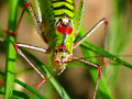 Grasshopper Royalty Free Stock Image - 18726136