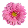 Beautiful Pink Gerbera Flower Isolated On White Stock Photography - 18734962