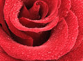 Red Rose With Water Drops Stock Image - 18743091