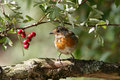Robin Stock Images - 18753614