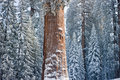 The Giant Sequoia Tree Covered In Snow Royalty Free Stock Image - 18757496
