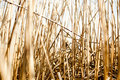 Reed Royalty Free Stock Photography - 18762287