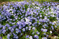 Spring Star Flower Royalty Free Stock Image - 18774486