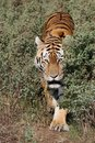 Tiger Prowling Royalty Free Stock Photos - 18790328