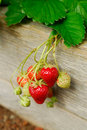 Strawberry Plant Stock Photography - 18811382