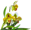 Paphiopedilum In Shape Orchid Plant Royalty Free Stock Photography - 18822137