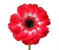 Red Daisy Flower Royalty Free Stock Images - 18824829
