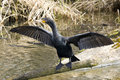 Cormorant Royalty Free Stock Photography - 18879947