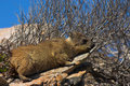 Dassie Royalty Free Stock Photography - 1893607
