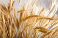 Golden Wheat Stock Images - 18910984