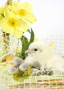 Easter Chicken Royalty Free Stock Image - 18933956