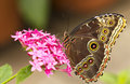 Owl Butterfly Stock Image - 18940641
