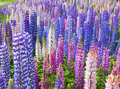 Lupin Flowers Royalty Free Stock Photos - 18941168