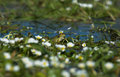 Perez S Frog 3 Royalty Free Stock Photos - 18963208