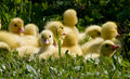 Little Ducklings Royalty Free Stock Image - 18976506