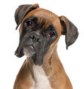 Close-up Of Boxer, 12 Months Old Royalty Free Stock Photo - 18989745