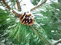 Pine Tree Lump In Snow Royalty Free Stock Photography - 195827