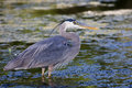 Great Blue Heron Fishing Royalty Free Stock Images - 19029139