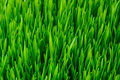 Green Grass Texture Royalty Free Stock Photos - 19050188