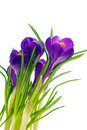 Violet Crocus Royalty Free Stock Photo - 19066325