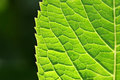Green Spring Leaf Stock Photography - 1910302