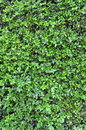Background Texture Of A Green Hedge Royalty Free Stock Photography - 19105067