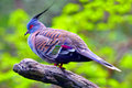 Crested Pigeon Stock Photos - 19107483