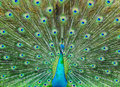 Peacock Stock Images - 19130674