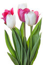 Tulips Flowers Royalty Free Stock Photos - 19134928