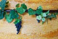Ivy And Grapes Vine On Wall Stock Photos - 19135323