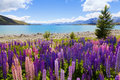 Lupin Flowers Royalty Free Stock Image - 19147346