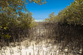 White Mangrove Tree With Roots In Lagoon Royalty Free Stock Images - 19194189
