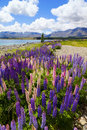 Lupin Flowers Stock Image - 19199511