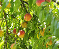 Peach Tree Stock Photography - 19208822