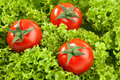 Red Tomatos Stock Photography - 19235002