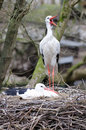 Couple Of Storks Royalty Free Stock Image - 19237246