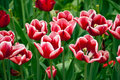 White And Red Tulips Royalty Free Stock Photo - 19243775