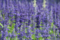 Lavender Stock Images - 19253024