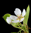 Pear, Pyrus, Blossom Stock Photo - 19263930