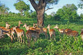 Group Of Impala Antelopes In South Africa Stock Photo - 19276420