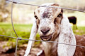 Nubian Goats In Spring Royalty Free Stock Image - 19289336