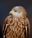 Red Kite Royalty Free Stock Photography - 19303557