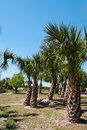 Thicket Of Palm Trees Stock Images - 19318014